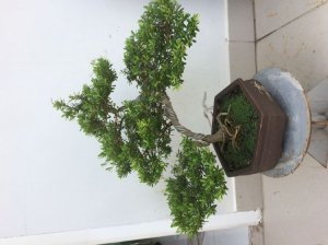 Linh sam bonsai 86