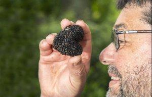 Một người đàn ông vừa đào được một loại nấm vô cùng quý giá có tên là nấm truffle đen