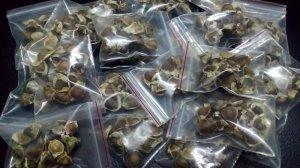 Tặng hạt giống cây Chùm Ngây
