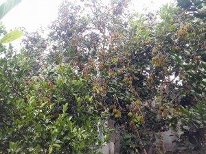 Dành cho các bạn mê ăn trái cây tại vườn đây  -  Cách sài gòn vài chục cây số thôi ah!!