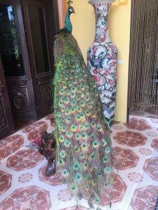 Lông Công ( Chim Trĩ ) Tự Nhiên Hàng Chuẩn cao từ 1m đến 1m1, zalo: 01226218163 Tiệm HoàngThiên