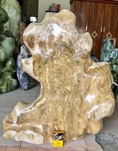 Cây đá can xít vàng hoa, cao 77cm